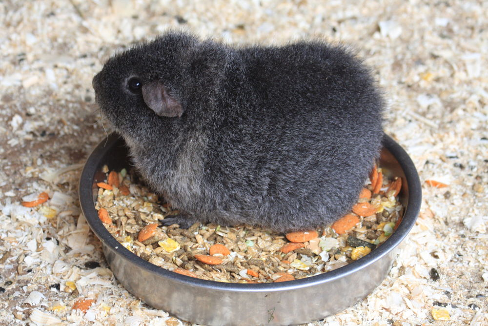 Guinea pig sitting in his food bowl  #guineapigbowl #sitinfood #donteatthis