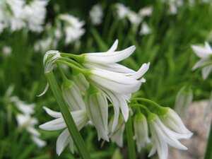 Wild garlic: Cooking Wiki