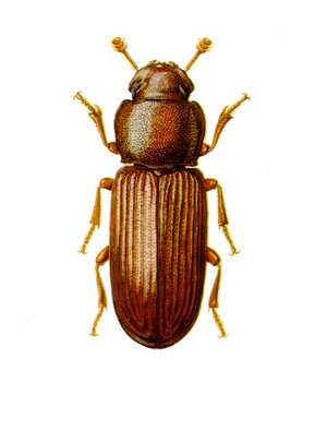 What Are The Weevils And Bugs Discovered In Flour Rice