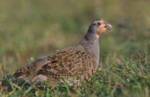 Perdices al vino (Partridges in wine)