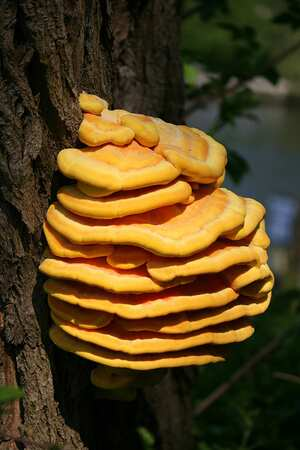 Chicken Of The Woods Mushroom Cooking Wiki