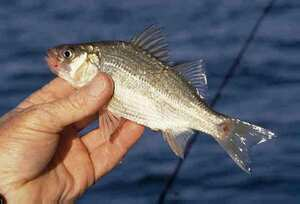 White Bass Recipes Food Network