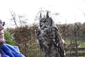 Country Owl Kitchen Drapes
