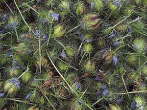 nigella seeds how to use